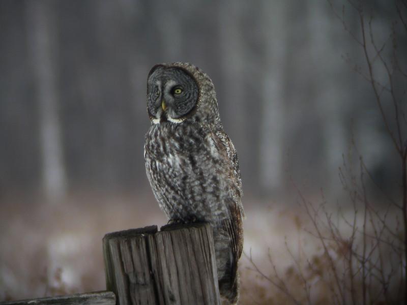 Great Gray Owl<br /> Minnesota