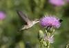 Ruby-throated Hummingbird - SideCut Metropark - September 2008