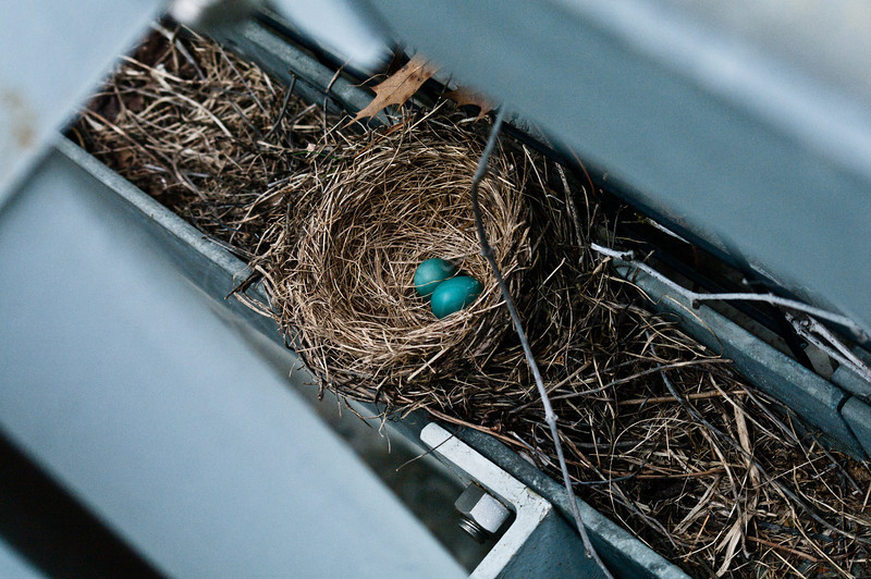 Robin's Nest with two eggs.