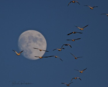 Snow Geese Migrating Against an Almost Full Moon Backdrop