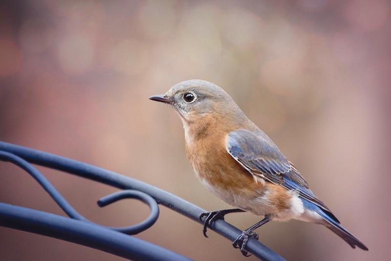 February 2018  St. Louis Bluebird
