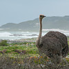 Ostrich at Cape of Good Hope_