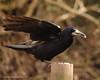 CornwallBird 2009 Crow