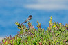 Black Phoebe at Bodega Head 2