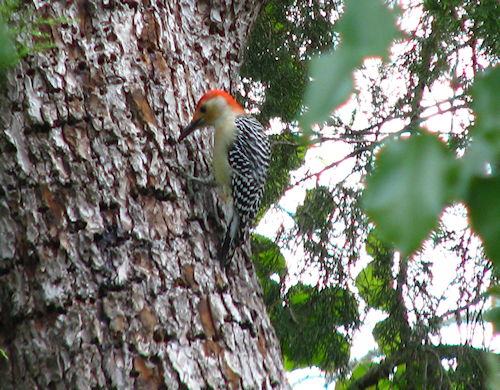 A male red-bellied woodpecker (Melanerpes carolinus) clinging to the trunk of a tree as he searches for food (20081123_14821)
