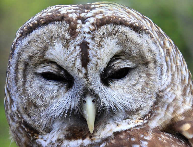 """  ""Who Cooks for You"" Hoots the Barred Owl  """