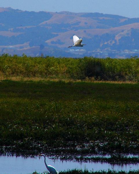 Egret in Suisun