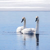 Trumpeter Swans  1