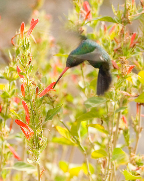 Broad-billed Hummingbird (mature male) {Cynanthus latirostris}<br /> Feeding <br /> Desert Museum, Tucson, AZ<br /> © WEOttinger, The Wildflower Hunter - All rights reserved<br /> For educational use only - this image, or derivative works, can not be used, published, distributed or sold without written permission of the owner.