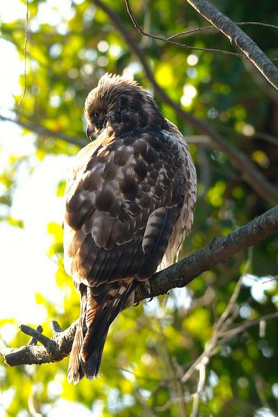 Juvenile Red-shouldered (?) Hawk<br /> Mount Vernon, Virginia<br /> January 2009