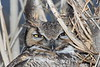 A great horned owl peers through the branches.
