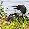 Nesting Loon  6
