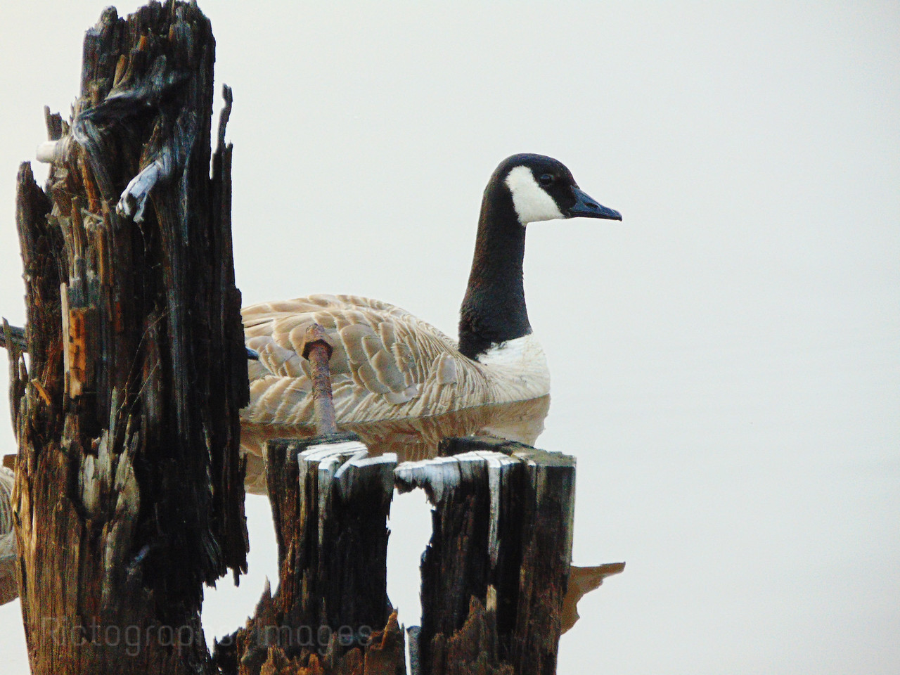 A Canada Goose Among Old Infrastructure