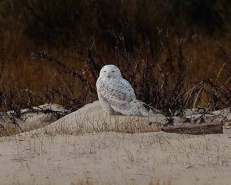 Snowy Owl<br /> Assateague Island National Seashore, Maryland<br /> November 2008