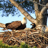 """  Eagle and Eaglet on the Nest  """