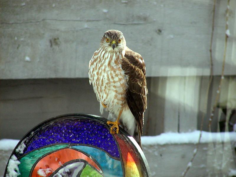 Sharp-shinned Hawk<br /> Cabin John, Maryland
