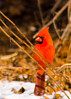 Northern Cardinal (male) {Cardinalis cardinalis} <br /> My Yard<br /> Natick, MA <br /> © WEOttinger, The Wildflower Hunter - All rights reserved<br /> For educational use only - this image, or derivative works, can not be used, published, distributed or sold without written permission of the owner.