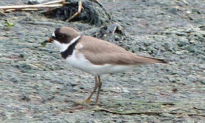 P125CharadriusSemipalmatusSPlover029 Apr. 30, 2013  11:02 a.m.  P1250029 Another side view of the Charadrius semipalmatus, Semipalmated Plover, at Hornsby Bend.