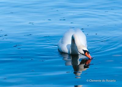 Trumpeter Swan at La Salle Park in Burlington, Ontario,Canada