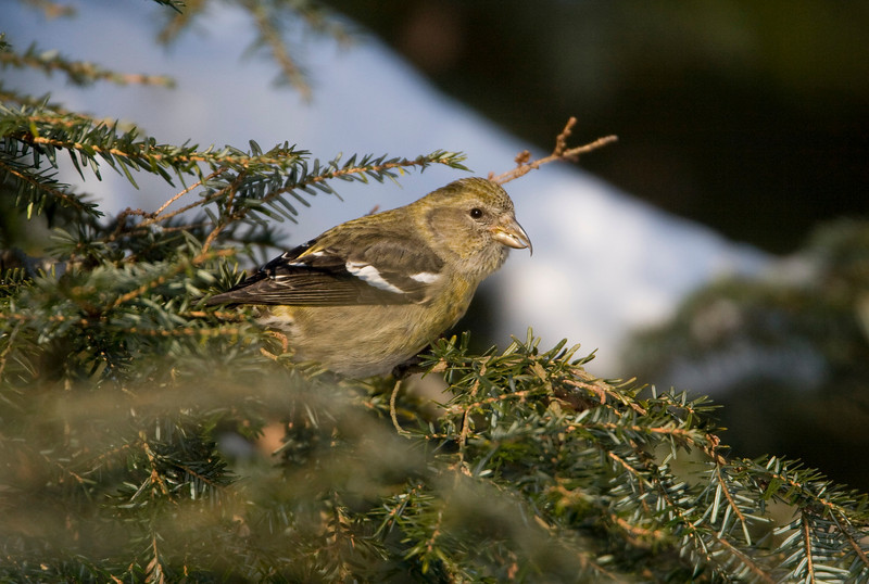 White-winged Crossbill -January 2009