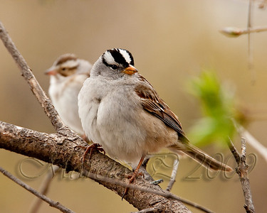 A White Crowned Sparrow (Zonotrichia leucophrys) rests on a branch.