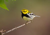Black-throated Green Warbler - May 2008