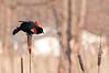 Redwing Blackbird displaying, Sandy Ridge Reservation, 4/2/2010.