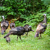 Turkey Family 3