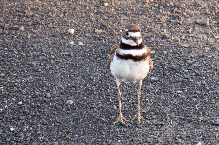 Killdeer 2011-2
