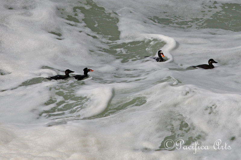 A little closer, but still not close enough!  Surf Scoters (Melanitta perspicillata), both male and female, in the surf off the cliffs of the Sutro Baths.