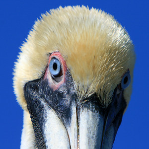 Just having some fun with my new teleconverter.  --  Brown Pelican