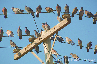 Pigeons on a telephone pole
