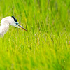 Great Blue Heron - Panorama