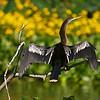 Anhinga (Ahinga anhinga)<br /> Venice, Louisiana, USA<br /> IUCN Status: Least Concern