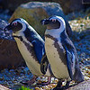 African penguins.