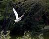 Cattle Egret flying off.