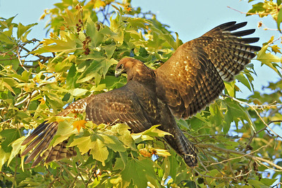 Recently fledged Red-tailed Hawk (dark morph)
