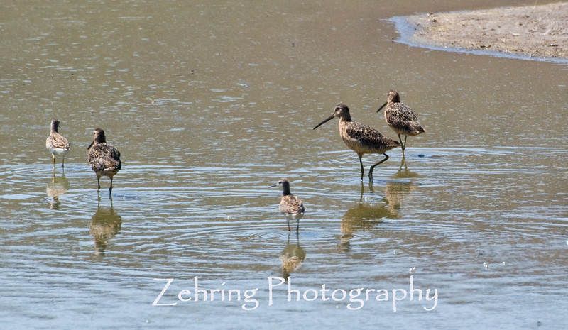 Long-billed dowitchers share the shoreline with some common snipes as they forage for insects.