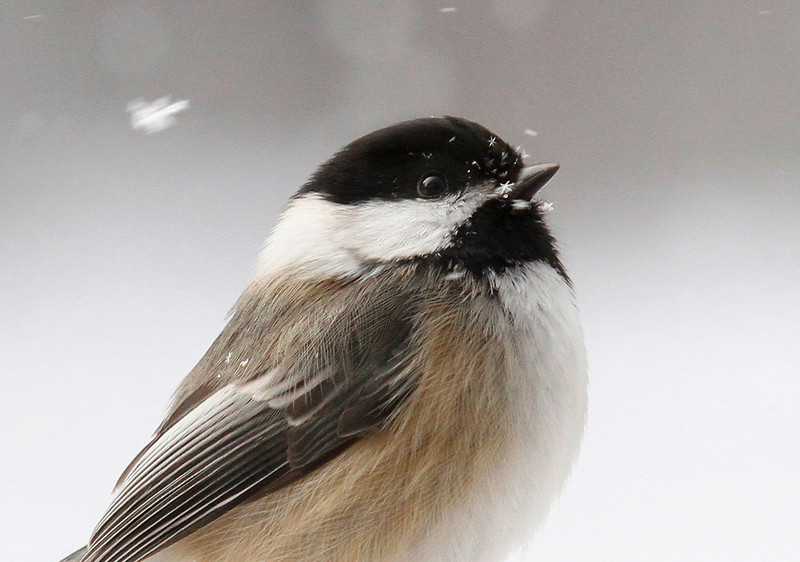 Snowflakes and Chickadees  2