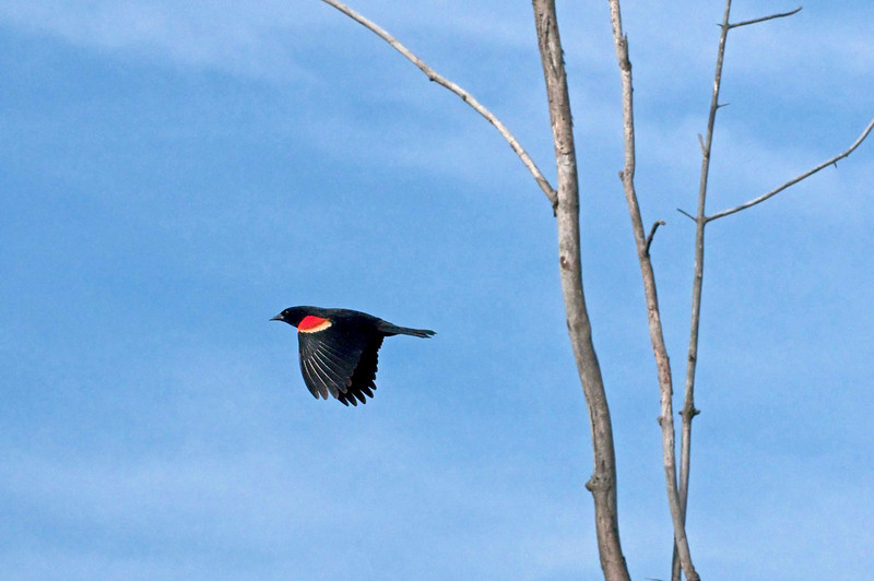 Redwing Blackbird, Sandy Ridge Reservation, 4/2/2010.