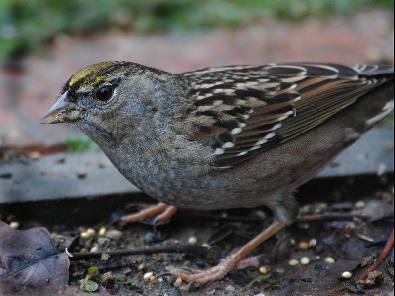 Gold Crown Sparrow