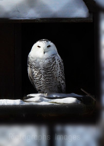 Snowy Owl, Photography