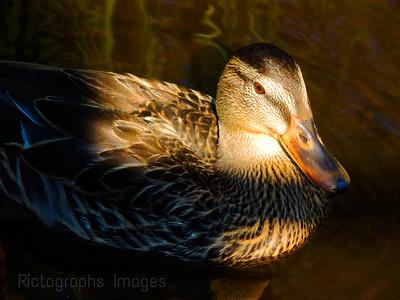 A Duck,