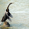 Oriental Darter (Anhinga melanogaster)<br /> Bharatpur, India<br /> IUCN Status: Near Threatened
