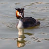 Grebe. Taken at Volendam, Holland.
