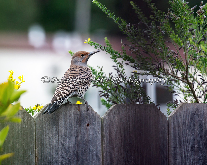 Northern Flicker  (not sure if this is a Red-shafted or Yellow-shafted)