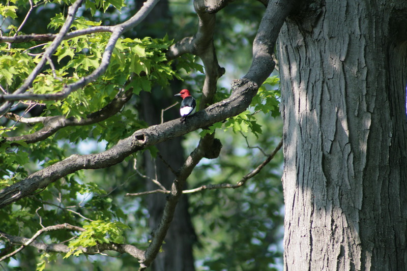 Red-headed Woodpecker, Point Gratiot, Dunkirk, NY.