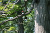 Red-headed Woodpecker, Point Gratiot, Dunkirk, NY.