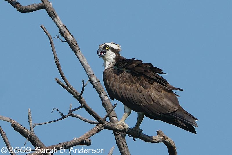 Osprey near its nest<br /> <br /> Occoquan National Wildlife Refuge<br /> Woodbridge, Virginia<br /> July 2009