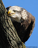 Bald Eagle cleaning its beak after a good fishy meal<br /> near Conowingo Dam<br /> Susquehanna River, Maryland<br /> November 2008
